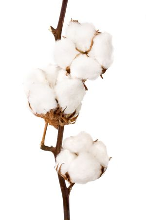 Planta de algodón sobre un fondo blanco  Foto de archivo