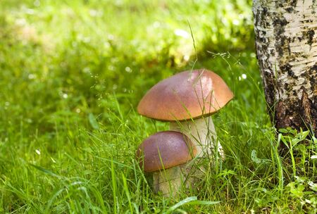 Two ceps in wood under a birch