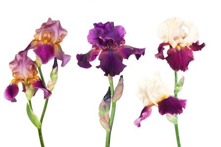 Drie soorten irissen op een witte achtergrond