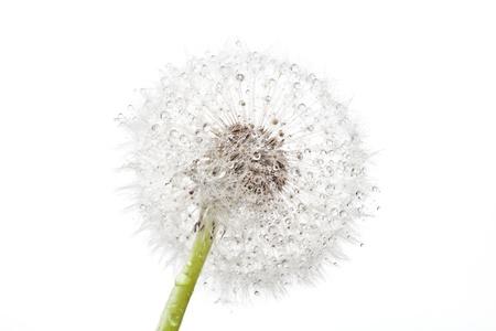 dandelion flower: Dandelion with drops on white background