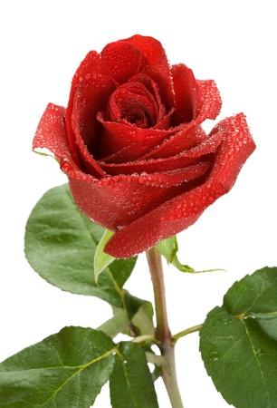 Rode roos met waterdruppeltjes