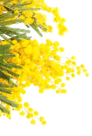 mimosa: mimosa isolated on white background Stock Photo
