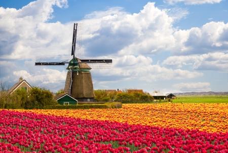 MOLINOS DE VIENTO: Molino de viento con el campo de tulipanes en Holanda