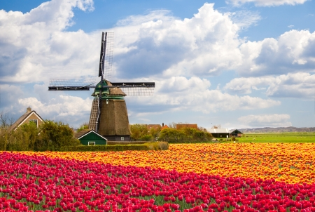 Moulin à vent avec champ de tulipes en Hollande