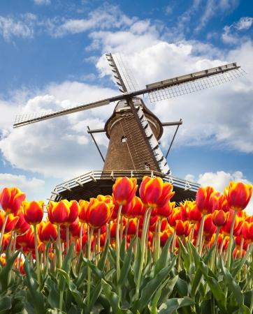 Větrný mlýn s tulipány v Holandsku