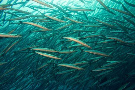 barracuda: Flight of barracuda in blue water near galapagos Stock Photo