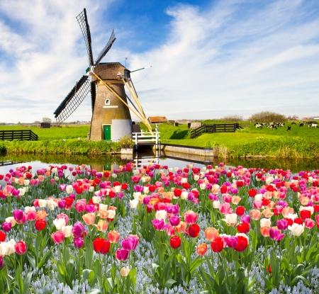 molino viento: Molino de viento con los tulipanes en Holanda Foto de archivo