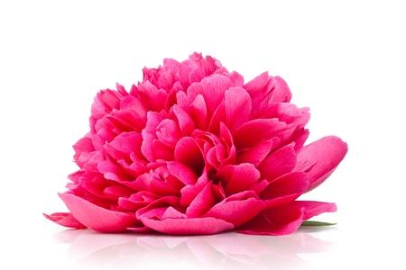 Roze pioen bloem geïsoleerd op witte achtergrond Stockfoto