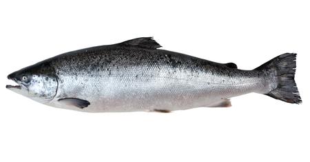 Fresh salmon  isolated on a white studio background