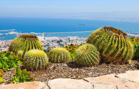 haifa: Large cactuses on the background of Haifa Stock Photo