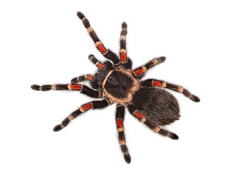 Tarantula spider, Brachypelma Boehmei, on white background Stock Photo