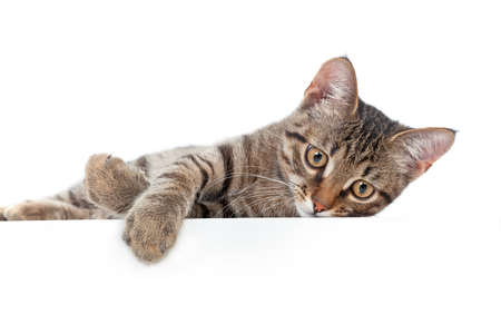grey cat: Grey cat lying on white background