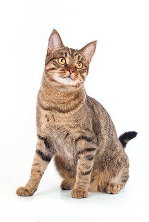 chat gris tigré sur fond blanc