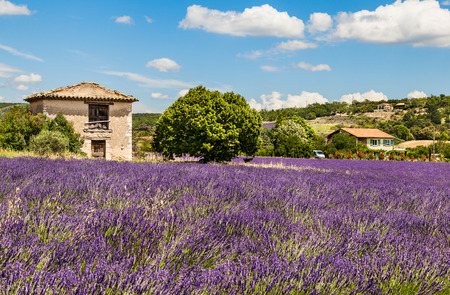 Landscape with lavender field and farmhouse. Provence, France.