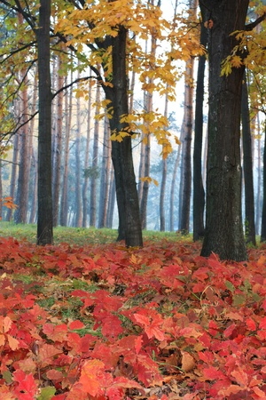 Red leaves on the background of trees in the morning
