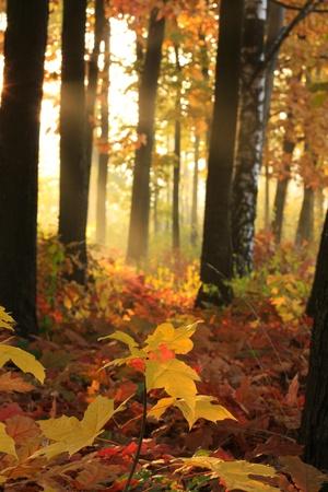 Göttliche Licht in den Herbst-Bäume Standard-Bild - 11237612