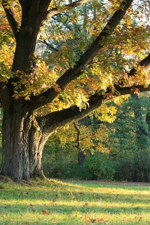 Sunlight on an old oak tree