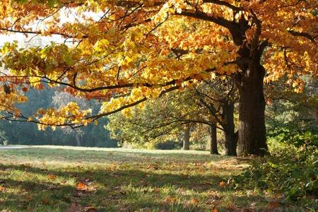 Die mächtigen Eichen im Herbst Wiese Standard-Bild - 13034345