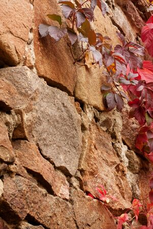 Brown old stones. Red ivy leaves. Background. photo