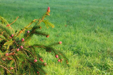 Blooming spruce. Young cones in the morning light photo