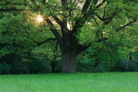 Oak in the spring meadow Stock Photo - 13636814