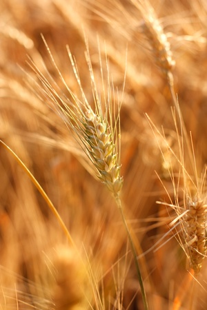 Ears of ripe wheat.  Landscape photo