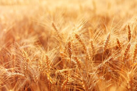 Beautiful field of ripe wheat on a summer evening. photo
