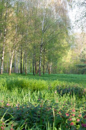 spring landscape with birch trees and sunshine photo