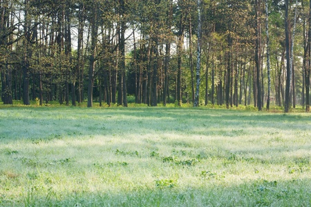 Landscape with meadow in dew and slim row of trees. spring nature photo