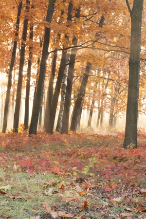 Orange oak forest, autumn nature photo