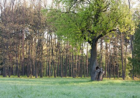 weald: old tree releases leaves in spring, nature Stock Photo