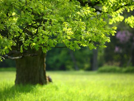 Spring eik met kleurrijke bladeren, natuur