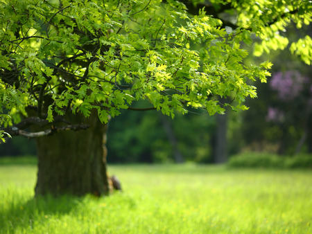 oak leaves: Spring oak tree with colorful leaves, nature