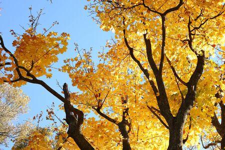 fall trees: old yellow tree and sky, autumn Stock Photo