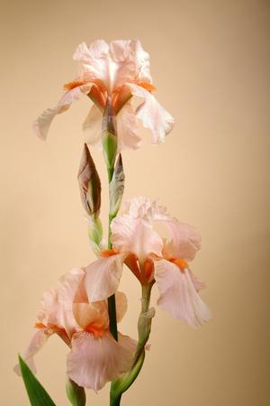 Blooming iris close-up, flowers