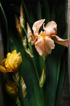 Pink iris blossoms