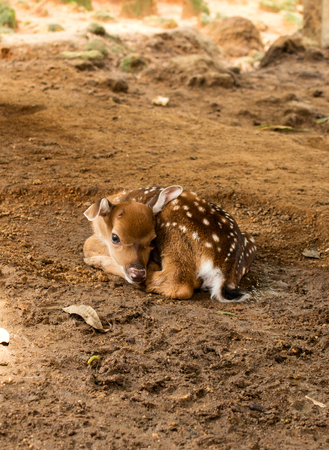Cute calf. Little baby of deer