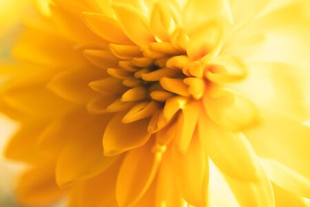 Yellow chrysanthemum blurred floral background, macro flower Banque d'images