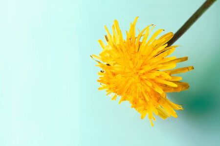 Close-up yellow dandelion on tranquil green mint background with copy space. Macro flower in nature. Horizontal wallpaper. Concept calm 写真素材