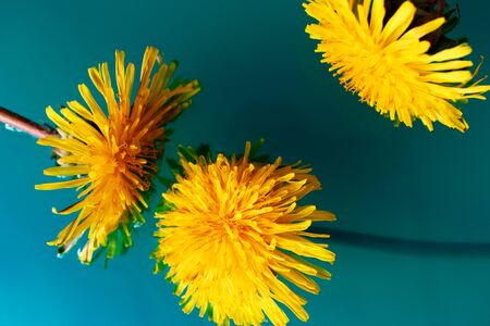 Dandelion flowers on turquoise water background. Bright floral wallpaper. Macro in nature Stock Photo