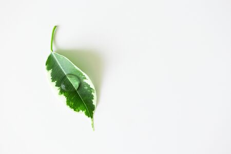 Transparent cosmetic gel on plant leaf. Drop shampoo or facial cleanser, moisturizer on white background with copy space. Concept natural organic healthcare product, top view