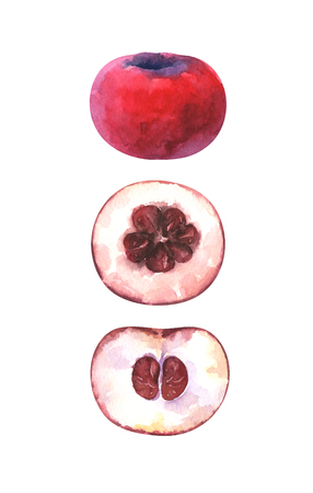 Hand painted watercolor illustration of velvet apple isolated on white background Standard-Bild - 118965885