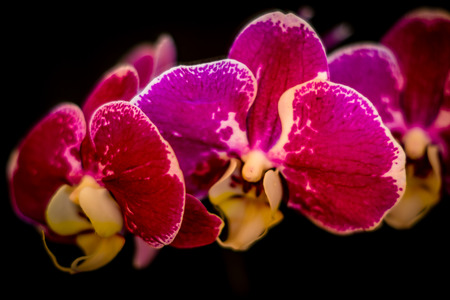 efflorescence: Mysterious violet  orchids on a black background
