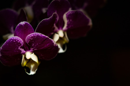efflorescence: Dark and mysterious violet  orchids on a black background