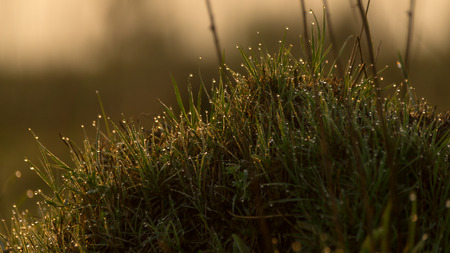 crystalline gold: Fresh young grass in a early morning sun