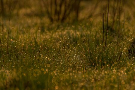 crystalline gold: Fresh young grass in a early morning sun with golden bokeh