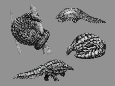 Black and white monochromatic freehand sketch of a pangolin Stock Photo