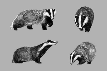 Black and white monochromatic freehand sketch of european badger