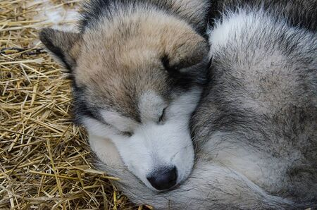 Closeup of alaskan malamute dog sleeping outdoor on straw bedding