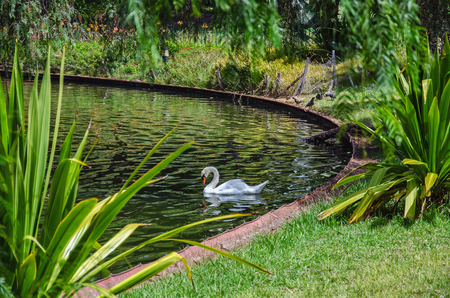 Peaceful scene with single white swan swimming in garden or park lake, surrounded by lush green tropical plants. Unfocused background.